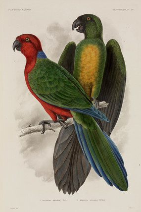 Two types of parrot, Fiji, 1838-1842.
