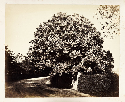 A tree in bloom, c 1855.