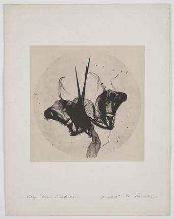 Bee's Sting, c. 1850s.