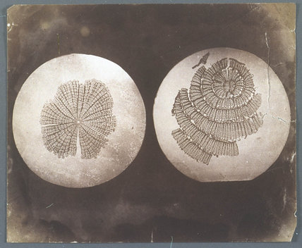 Two Photomicrographs of plant stems.