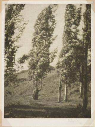 'Eucalyptus Trees', 1911.