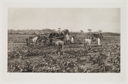 'The Mangold Harvest', 1887.