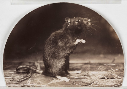 'Mr and Mrs Rattus Old English Black Rat'.