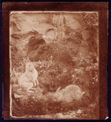 Rabbits, 1854.