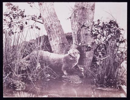 Otter, 1852.