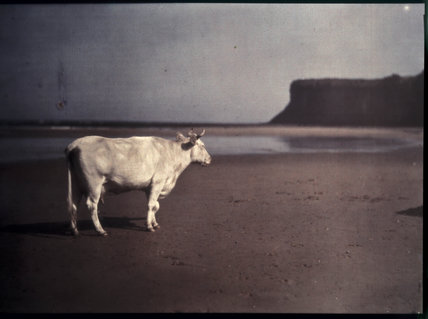 Cow on Saltburn sands.