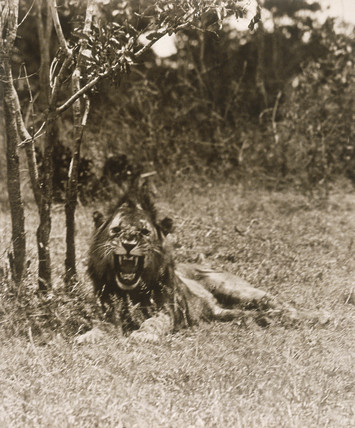 A Lion in Kenya.