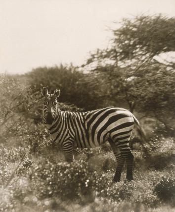A Zebra.