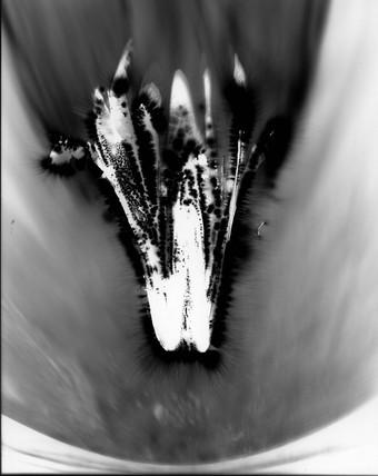 Kirlian photograph of chicory.