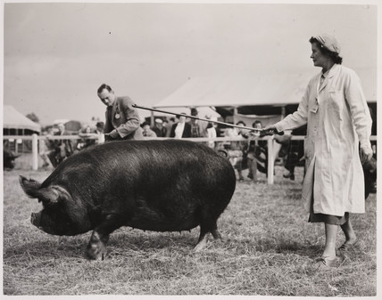 A Berkshire pig, 10 July 1951.