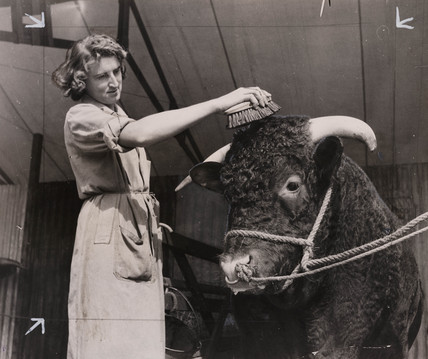 Bull being groomed at agricultural show, 31 August 1948.