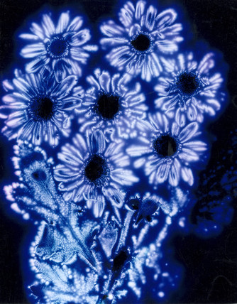 Kirlian photograph of a bunch of marguerites.