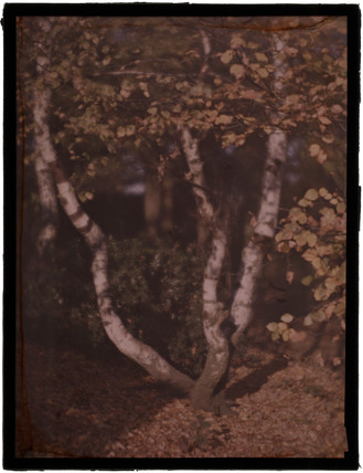 'Birch Trees', c 1908.