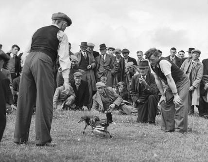 Cockfighting, c 1930s.