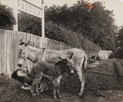 Composite of two donkeys, c 1909.