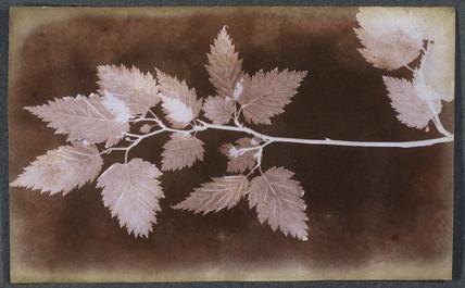 Leaf, c 1839.