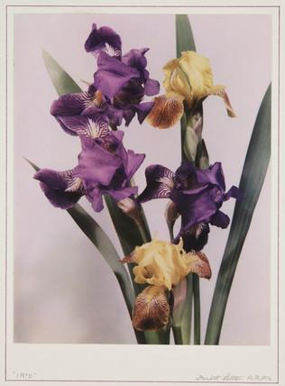 'Iris'.