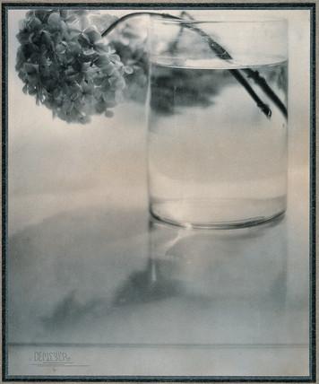 Still life, hydrangea, 1907.
