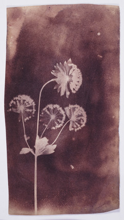 Flowers and stem, 13 November 1838.