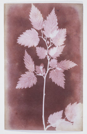 Leaves on a stem, c 1838.