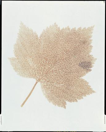 Leaf, c 1843-1845.