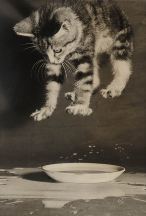 Kitten jumping into a saucer of milk, 1953.