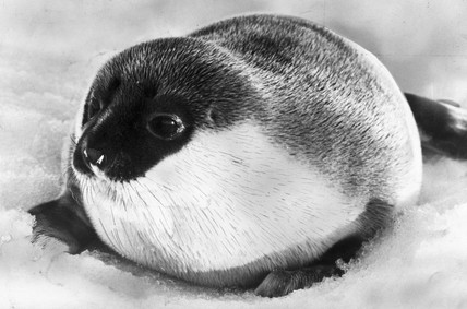 Baby seal, March 1980.