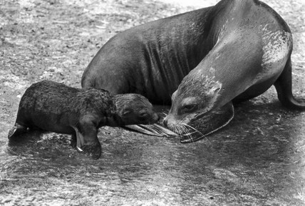 Baby sealion, June 1984.