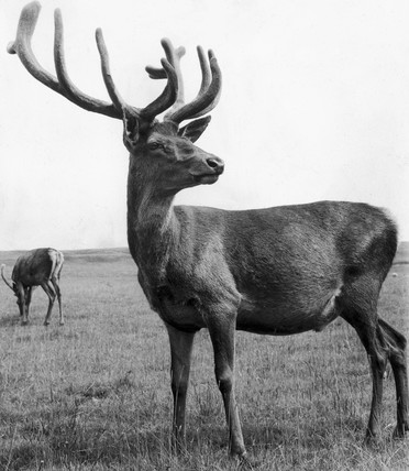 Stag, Lyme Park, August 1961.