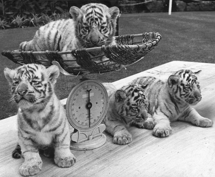 White tiger cubs, Bristol Zoo, June 1970.