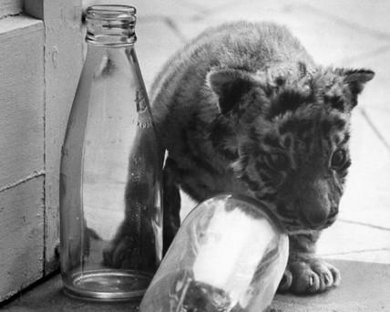 Bengal tiger cub, October 1972.