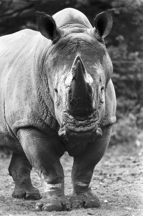 Rhinoceros, 1987.