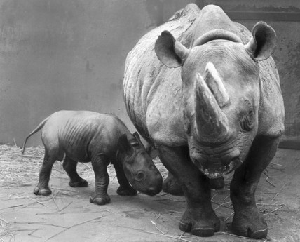 Black rhino and baby, September 1967.