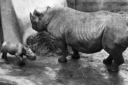 Black rhino and baby, February 1971.