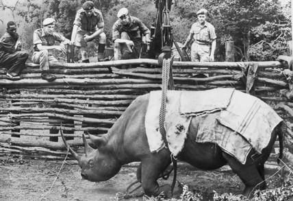 Army winching up a rhino, Nairobi, September 1963.