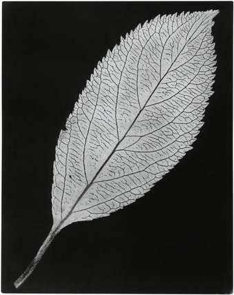 Negative of a leaf, c 1839.