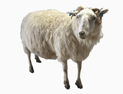 Tracy, a transgenic sheep, 1999.