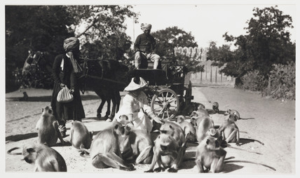European woman feeding a troop of monkeys, India, c 1910.