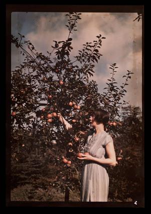 Woman picking apples, c 1938.