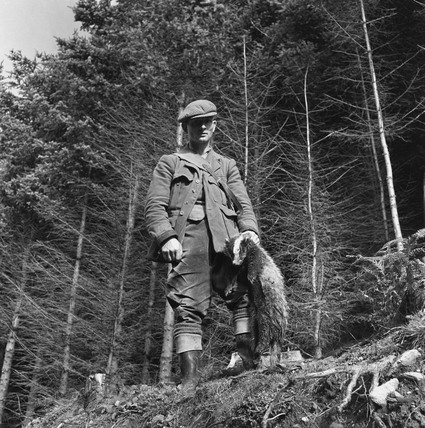 Gamekeeper holding dead badger, 1951.