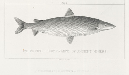 'White Fish, Sustenance of Ancient Miners', 1855.