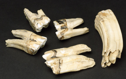 Fossilized teeth, China, 5,000-2,000 BC.