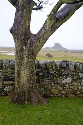 Tree near Lindisfarne Castle, January 2006.