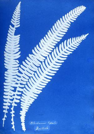 Cyanotype of a British fern, 1853.