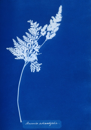 Cyanotype of Pine Fern, 1853.