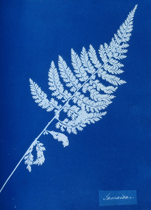 Cyanotype of British fern, 1853.
