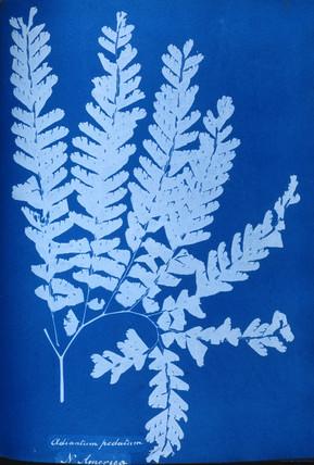 Cyanotype of a North American fern, Adiantum pedatum, 1853.