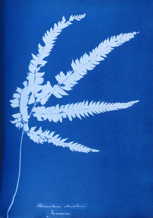 Cyanotype of Jamaican fern, Adiantum striatum, 1853.