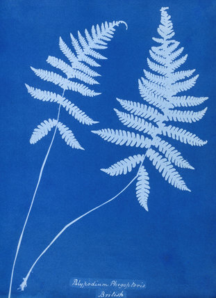 Cyanotype of Polypodium phegopteris, 1853.