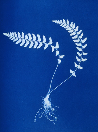 Cyanotype of Aspidium trapezoides, 1853.